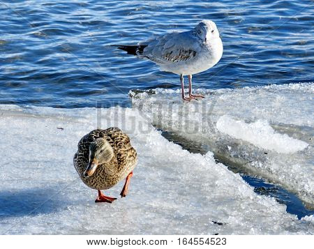 Duck and gull on the ice near a shore of the Lake Ontario in Toronto Canada January 6 2017