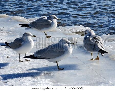 Gulls on ice near a shore of the Lake Ontario in Toronto Canada January 6 2017