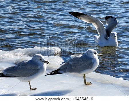 The gulls on a shore of the Lake Ontario in Toronto Canada January 6 2017