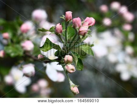 On the end of a branch of an apple-tree among young green leaves pink buds reveal.
