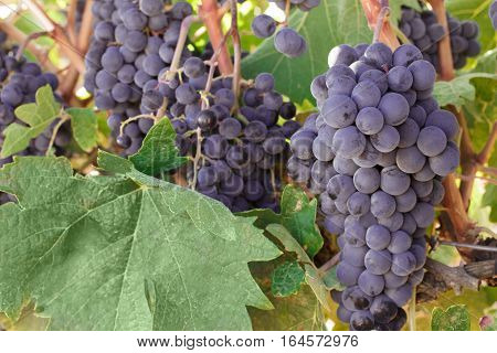 A vibrant photo of wine grapes hanging from a vine in a vineyard, just before the autumn harvest. Selective focus