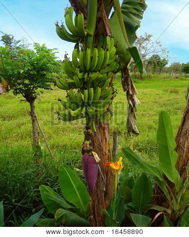 Banana, tropical scene