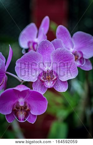 Pink orchid flower. Orhidea Phalenopsis in nature. Beautiful light pink Orchid in botanical garden Sri Lanka.