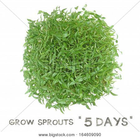 Grow sprouts 5 days from green beans seed small plant at home for your clean food Photo top view and isolate white background has pencil hand draw English font.