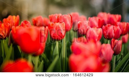 Istanbul, Turkey - March 06, 2016: Red Tulips beautiful bouquet of tulips. tulips in spring colourful during Tulip festival in Istanbul