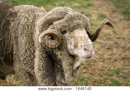 Merino Ram