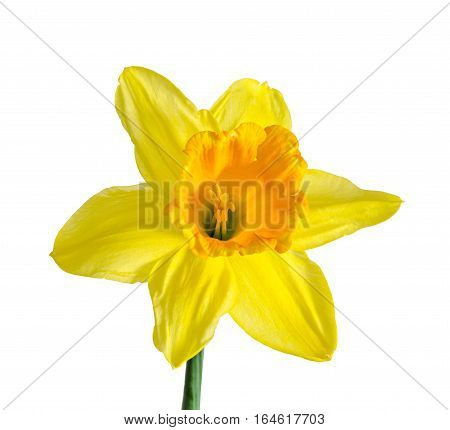 Yellow Daffodil, Narcissus Flower, Close Up, Isolated On White Background.