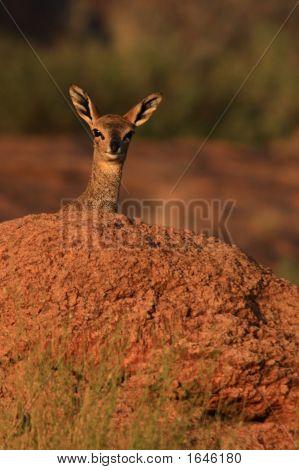 Klipspringer Female Peers Over A Rock