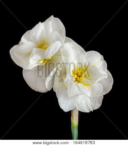White Daffodil Flowers, Narcissus, Yellow Middle Pistil, Close Up, Black Background.