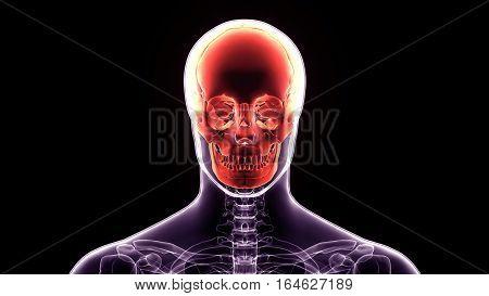 3d illustration human body skull.of a front face skull