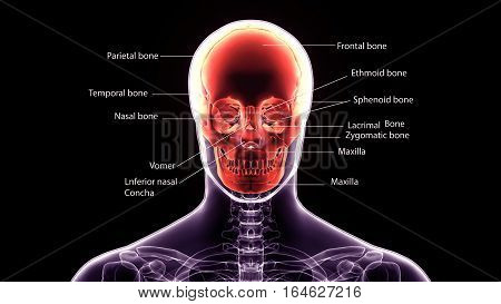 3d illustration human body skull.of a front face skull with labels