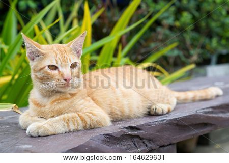 poster of Thailand Cat lethargic. Cute cat, cat lying on the wooden floor in the background blurred close up playful cats, cats relaxing vacation.