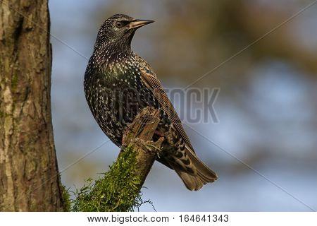 Common Starling (Sturnus Vulgaris) perched on branch