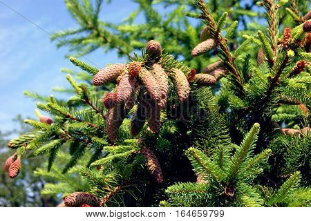 The branches of a coniferous tree with cones