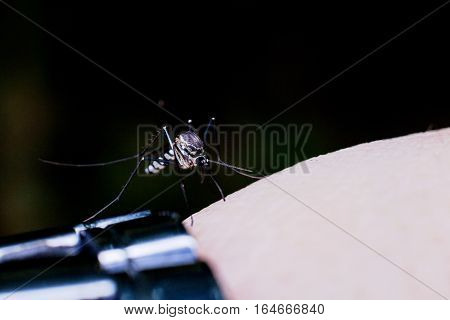 Close up view of real mosquito indicating dangerous of Aedes, Malaria and Zika disease