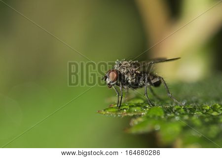 The common housefly sitting on a green leaf in drops of morning dew