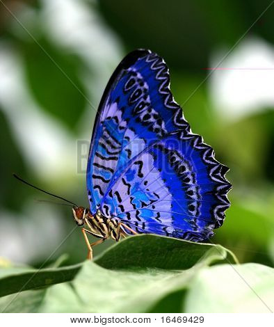 Blue butterfly on green leaf