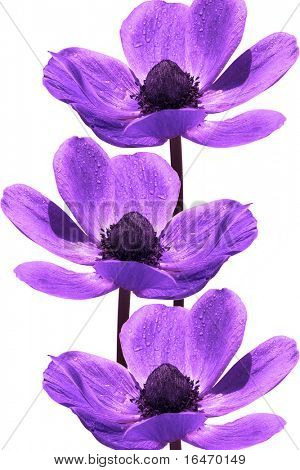 beautiful violet flowers on white background