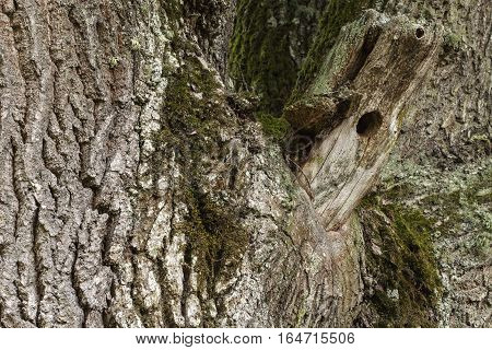 Closeup, macro of an old oak tree, the trunk. Rustic texture. Birds nest.