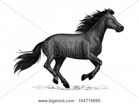 Black horse runs gallop sketch. Galloping black stallion horse of arabian breed. Horse racing symbol, equestrian sport or riding club badge design