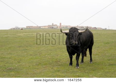 Spanish Bulls