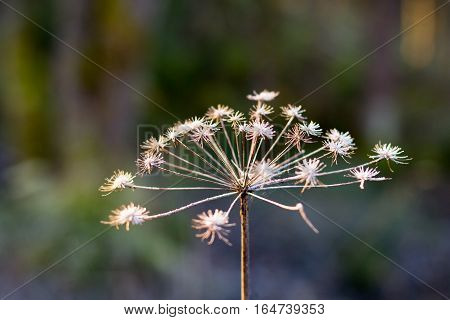 Dry inflorescences parsnip Sosnowski (Heracleum sosnowskyi), Umbelliferae
