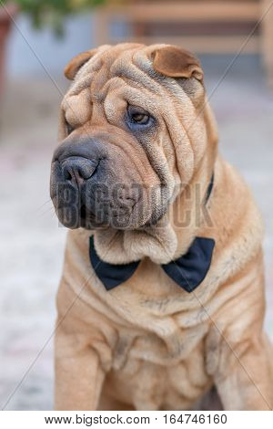adult purebred chinese shar pei wearing a bow tie