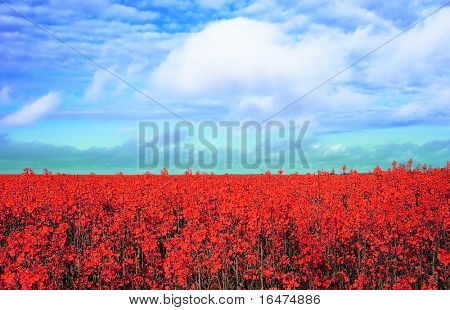 meadow with many red flowers