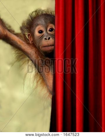 Orangutan on Stage