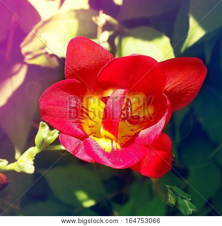 Springtime Flower Freesia. Tined Toned Coloration Image
