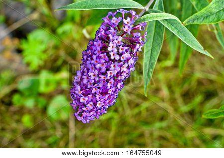 Buddleja Davidii Butterfly Bush In Bloom