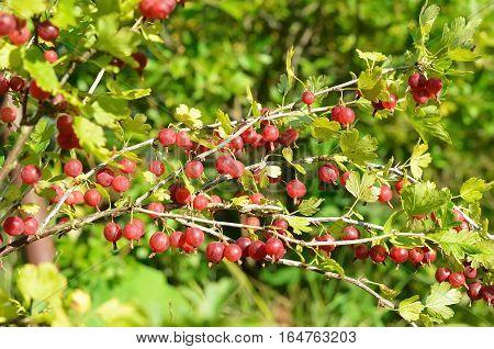 Red gooseberries on branches in garden, selective focus