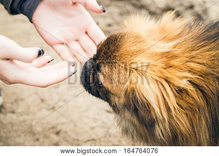 Girl's hands and a cute pekingese dog outdoor