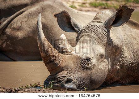 White Rhino Relaxing In The Water.