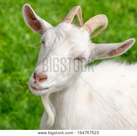 The portrait of funny goat with  beard on background of green grass on the goat farm. White female goat on a background fresh bright greenery.
