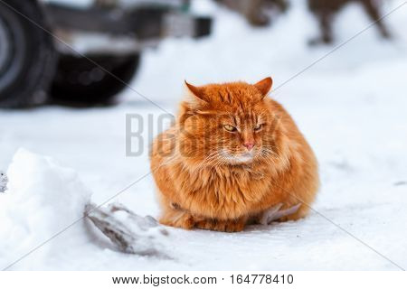 big fluffy ginger cat sitting in the snow