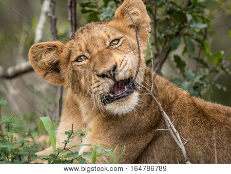Lion Cub Playing In The Grass.