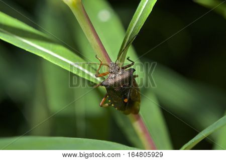 Red legged Shieldbug, known also as Forest Bug, Pentatoma ruffles on branch with green leaves from above