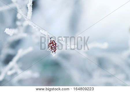 red fruit of wild rose covered with white crystals of cold frost