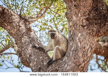 Vervet Monkey Sitting In A Tree.