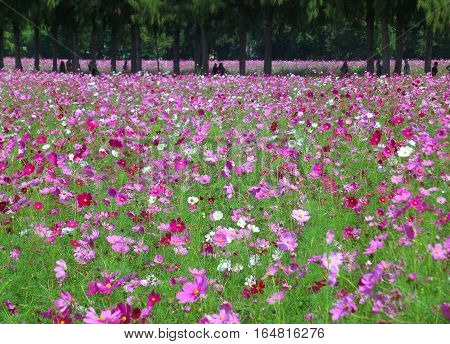 Many Shades of Pink Blooming Cosmos in the Field, Thailand