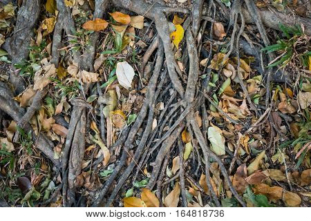 Tree roots on ground full of fallen leaves