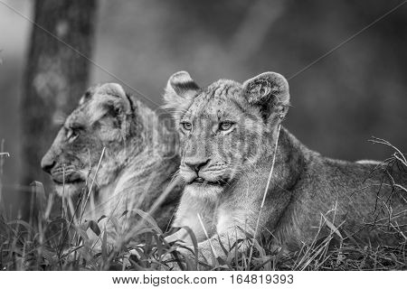 Two Lion Cubs In Black And White.