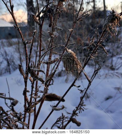 Dry burdock heads close-up on a snow background