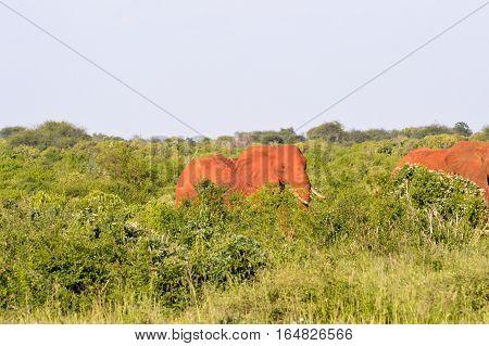 Red elephant in the brushwood of East Tsavo Park in Kenya