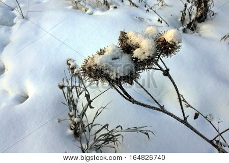 dry seeds of thistles on snow background in early morning sunlight