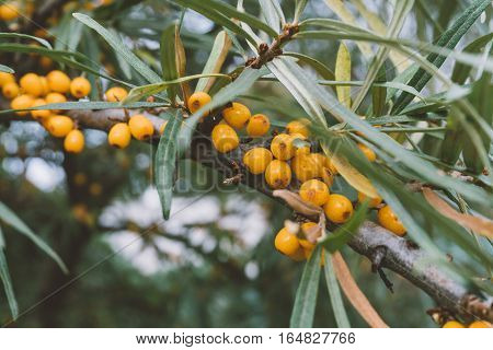 branch of sea-buckthorn, close-up shot of sea buckthorn, medicinal sea-buckthorn berries