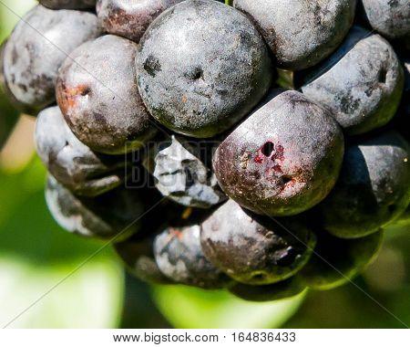 Wild grapes that are very ripe, almost raisins.
