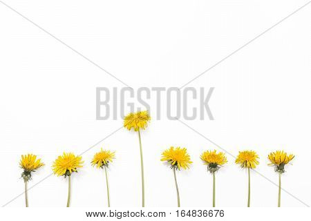 Dandelions isolated on white background. Yellow summer flowers lay flat