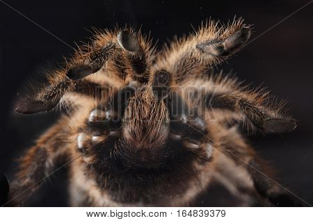 tarantula texture from under in studio with black background